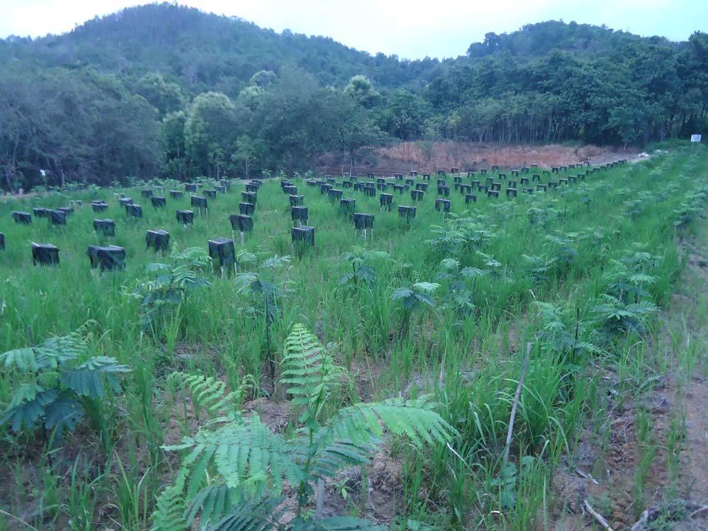 Plot Super Intensif Agroforestri, Hasilkan Sengon  dengan Pertumbuhan yang Mengagumkan