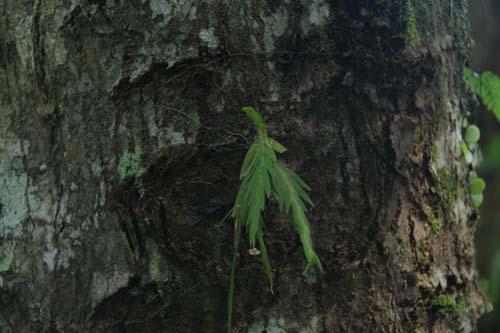 Anggrek Supermini (Oberonia nitidicauda J.J.Sm., 1918) juga ditemukan di Kalimantan Selatan