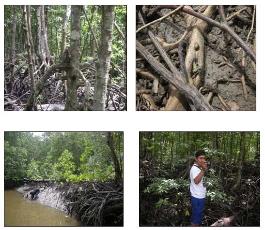 Keanekaragaman mikroorganisme tanah dan air di kawasan mangrove