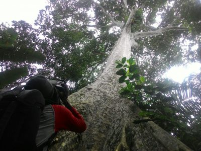 Litbang LHK Banjarbaru Temukan Pohon Raksasa Langka di Kalsel yang Viral di Medsos