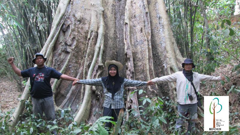 Pohon Nyawai Raksasa Ditemukan tim Peneliti Balai Litbang LHK Banjarbaru