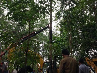 Cerita dibalik Pohon Mersawa  Presiden Jokowi